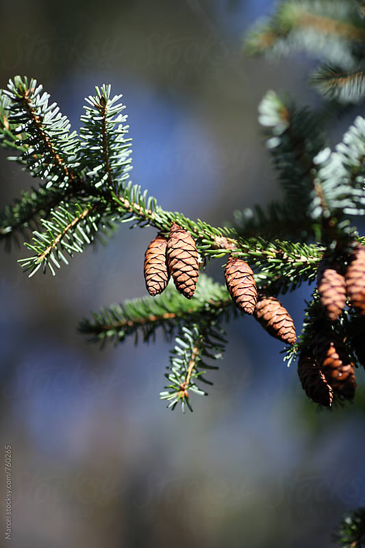 Cones on a pine tree branch by Marcel for Stocksy United