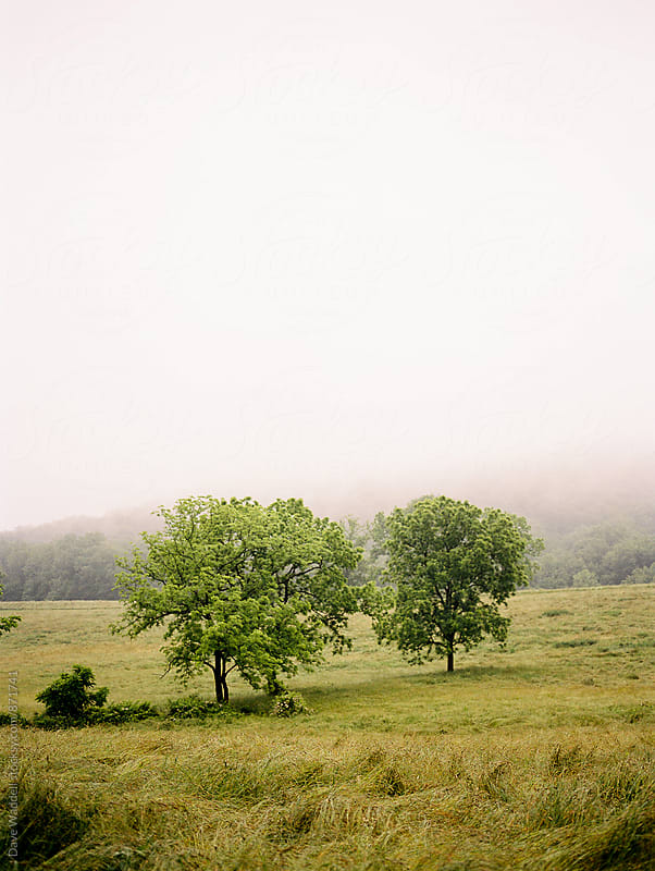 Trees in a foggy meadow by Dave Waddell for Stocksy United