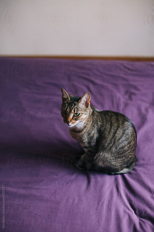 Cat sitting on a bed by VeaVea for Stocksy United