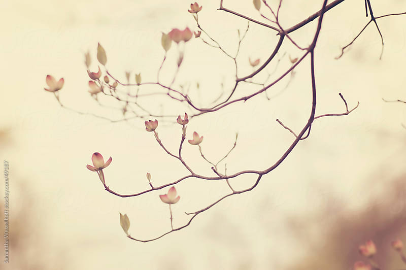 dogwood buds in spring by Samantha Wesselhoft for Stocksy United