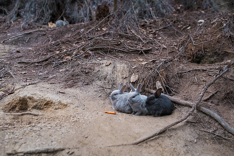 Rabbits on Ōkunoshima (Rabbit Island), Japan by Rowena Naylor for Stocksy United