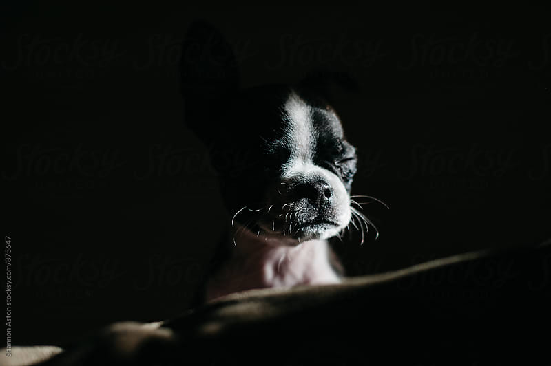 Bruce the Boston Terrier as a puppy by Shannon Aston for Stocksy United