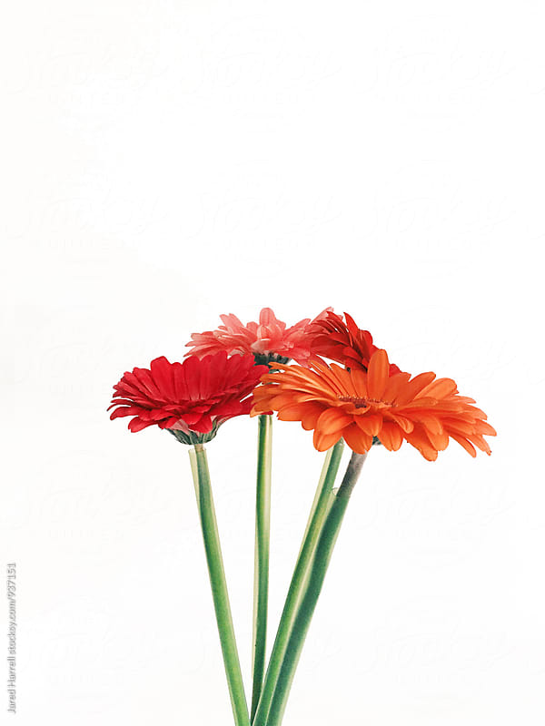 Colorful Gerber Daisies Against a White Wall by Jared Harrell for Stocksy United