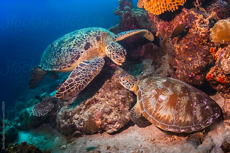 Two Sea Turtles fighting  on the coral reef underwater  by Soren Egeberg for Stocksy United