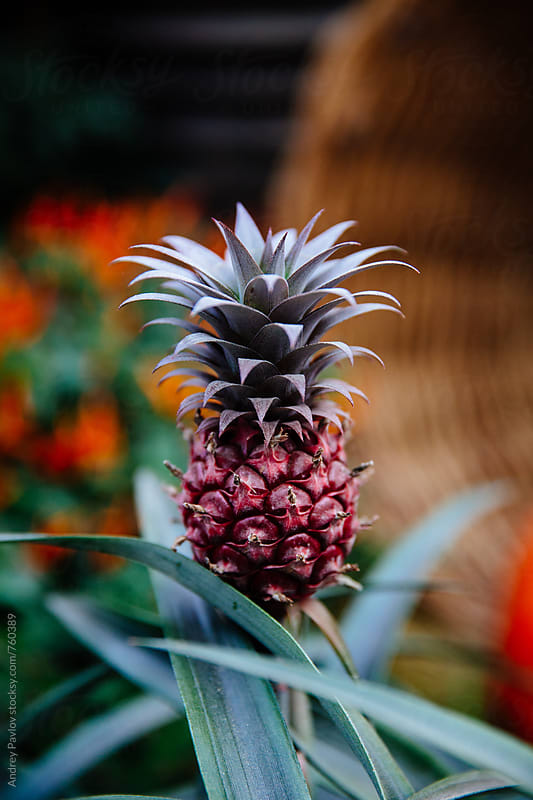 Pineapple growing by Andrey Pavlov for Stocksy United