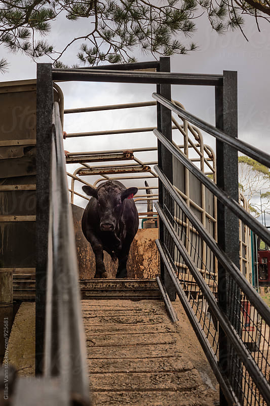 a bull being unloaded down a ramp on a cattle farm by Gillian Vann for Stocksy United