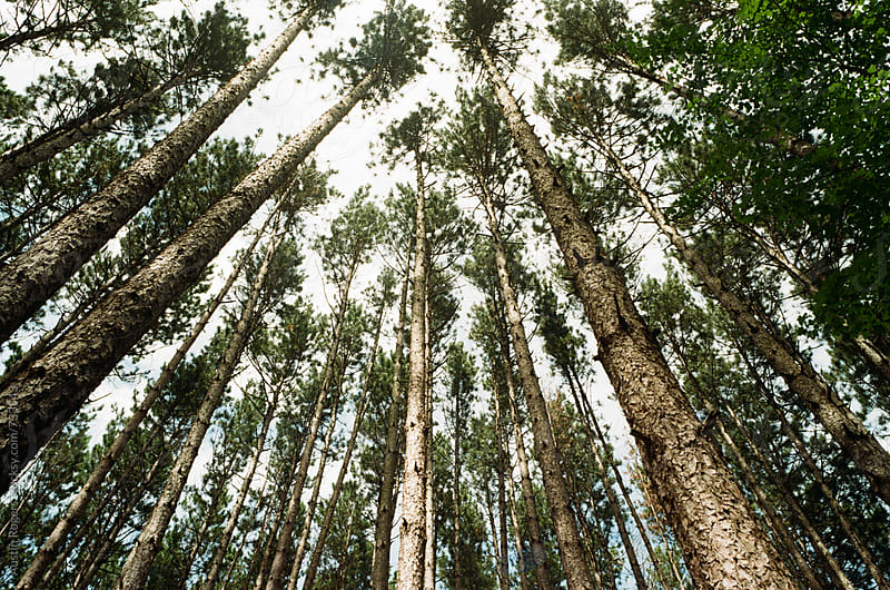 Film Photo of Tall Pine Trees by Austin Rogers for Stocksy United