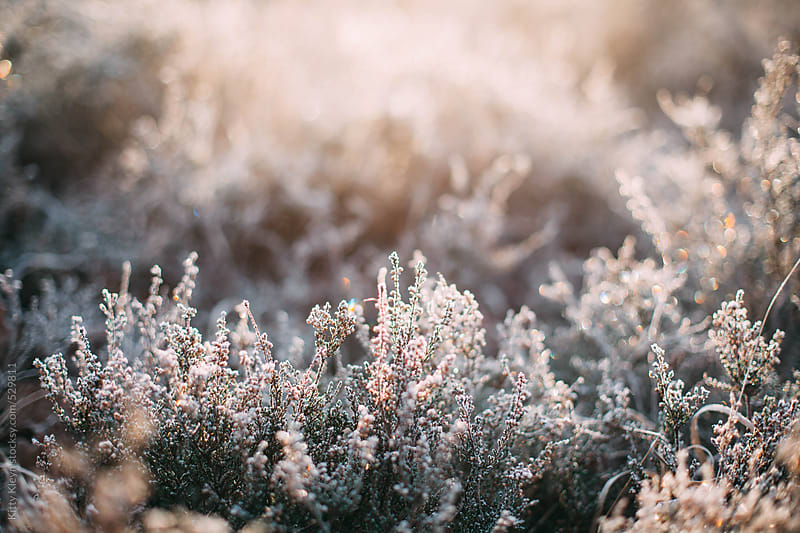 Morning winter heather by Kitty Kleyn for Stocksy United