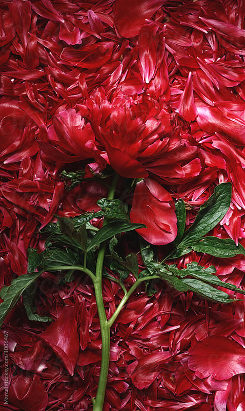Red peony on a bed of fallen petals by Marcel for Stocksy United