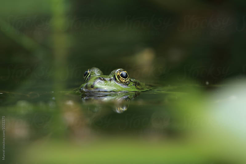 Green frog in garden pond by Marcel for Stocksy United