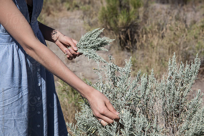 Picking Sage by Carey Haider for Stocksy United