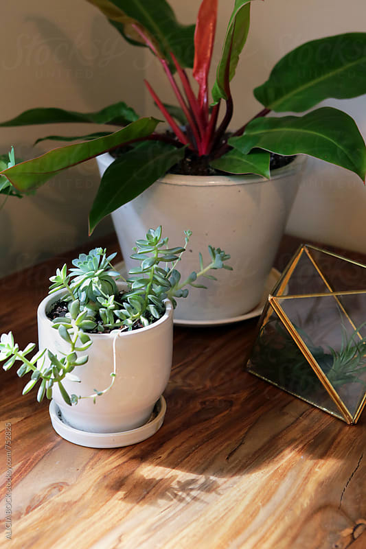 A Collection Of Houseplants On A Sunny Table by ALICIA BOCK for Stocksy United