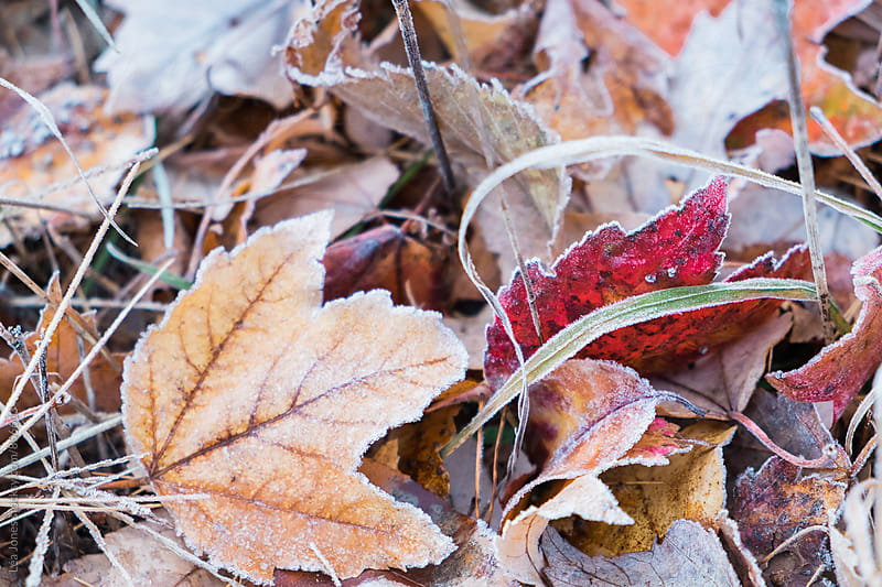 autumn leaves with frost by Léa Jones for Stocksy United