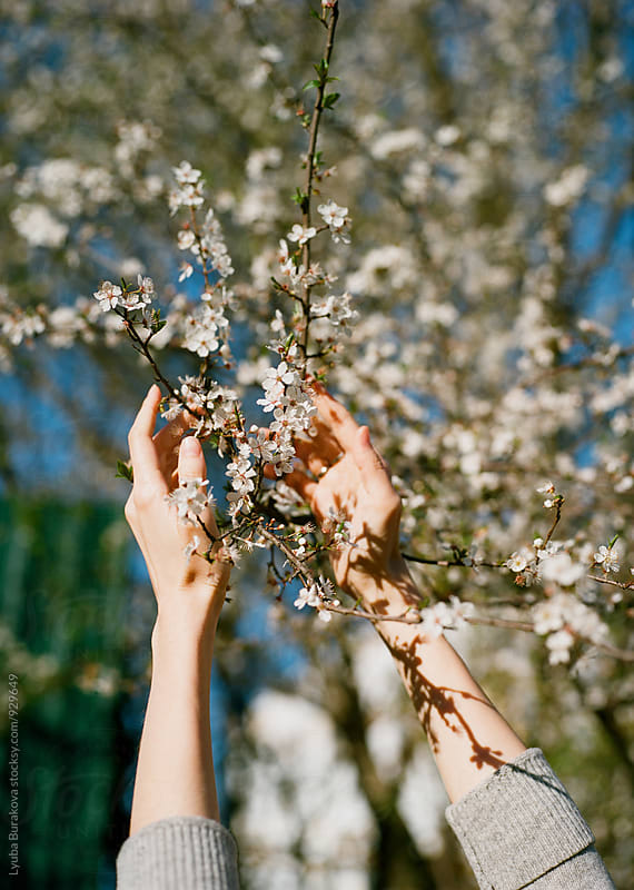 Woman's hands among cherry blossom by Lyuba Burakova for Stocksy United