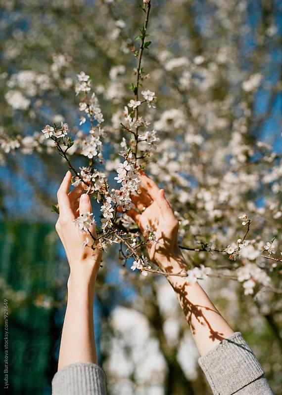 Woman's hands among cherry blossom by Liubov Burakova for Stocksy United