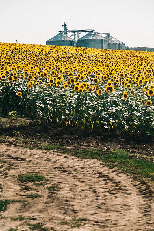 Sunflower field and silo factory by Borislav Zhuykov for Stocksy United