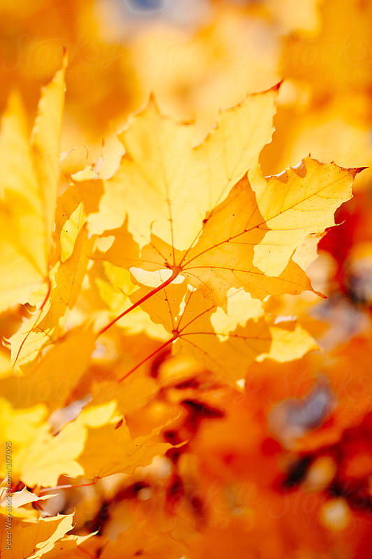 Maple leafs in fall by Peter Wey for Stocksy United