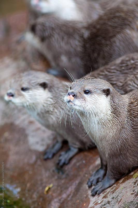 Eurasian short clawed otter by Alex Hibbert for Stocksy United