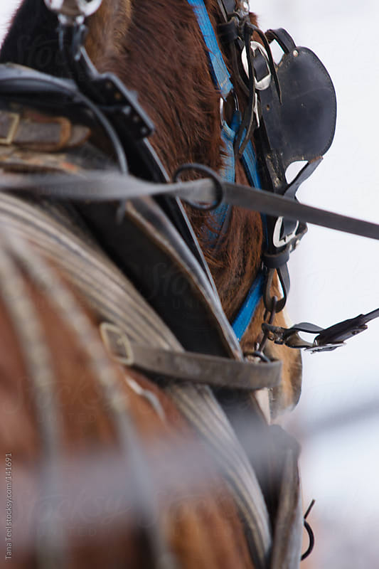 The harness on a draft horse by Tana Teel for Stocksy United