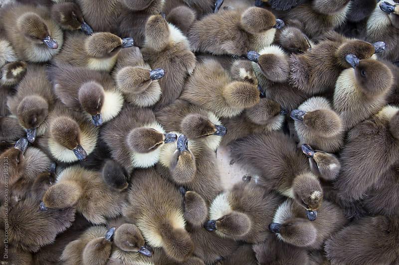 Ducklings by Diane Durongpisitkul for Stocksy United