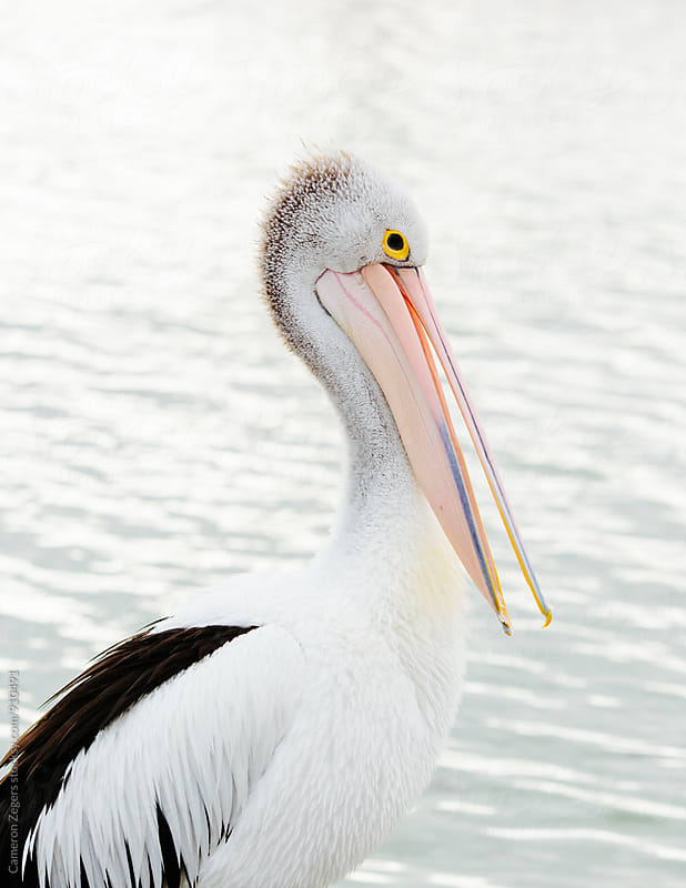 Australian Pelican by Cameron Zegers for Stocksy United