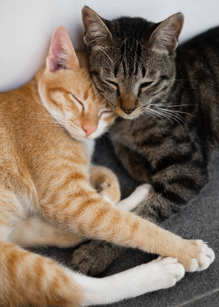 Two Friends Of A Cat Lie Together And Have A Rest Cute Cats By Nikita Sursin Stocksy United