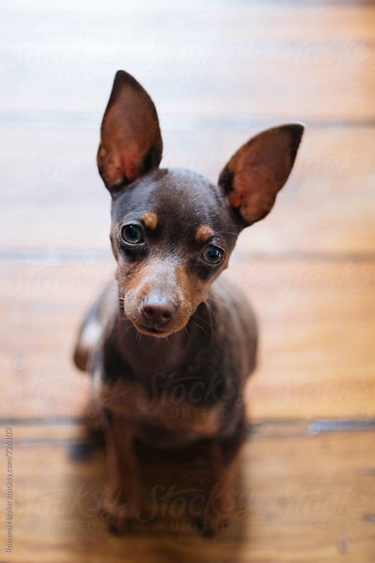 Cute tiny Minpin pup looking into camera by Rowena Naylor for Stocksy United