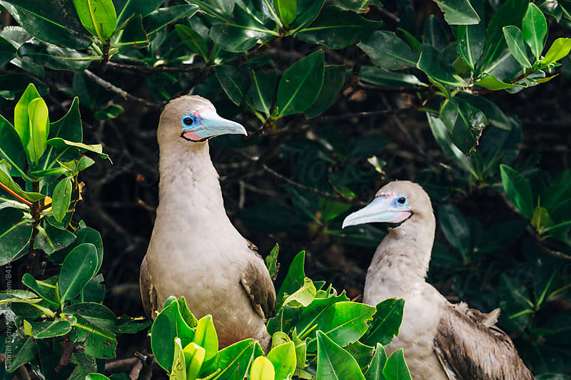 Two red-footed boobies hiding in bushes by Gabriel Tichy for Stocksy United