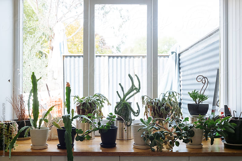 Collection of Cacti on window ledge by Rowena Naylor for Stocksy United