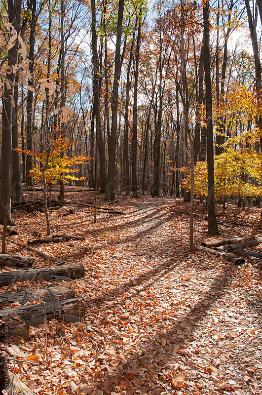 Crisp Autumn Day Among Desiduous Trees in Mid-Atlantic Old Growth Forest by Brian McEntire for Stocksy United