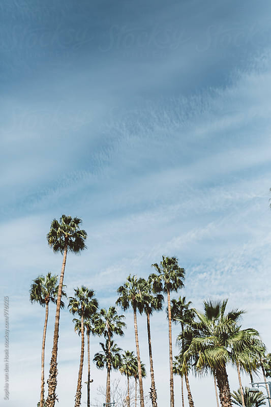 Palmtrees by Sophia van den Hoek for Stocksy United