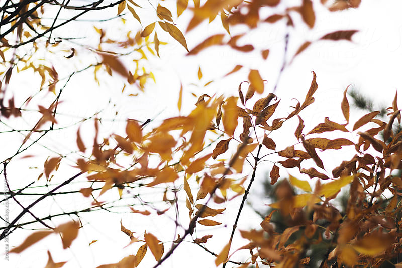 Orange leaves on the tree by Jovana Rikalo for Stocksy United