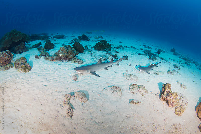 Two whitetip reef sharks lie down on the sandy by Song Heming for Stocksy United
