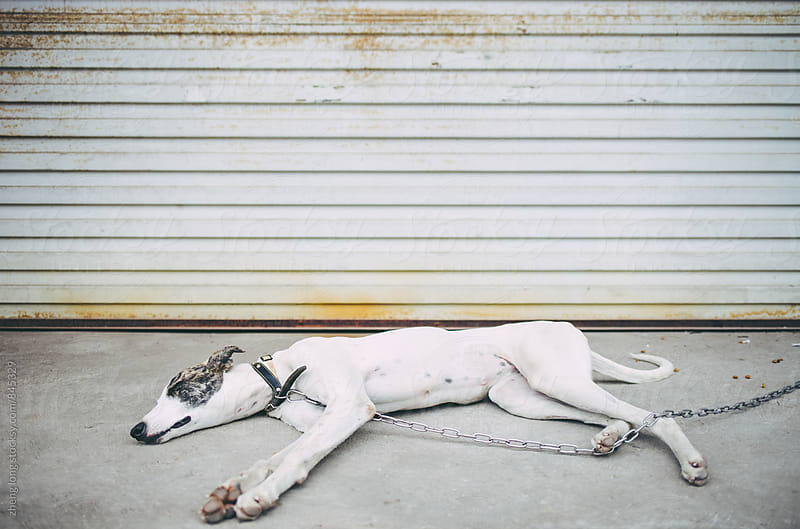 Greyhound by zheng long for Stocksy United