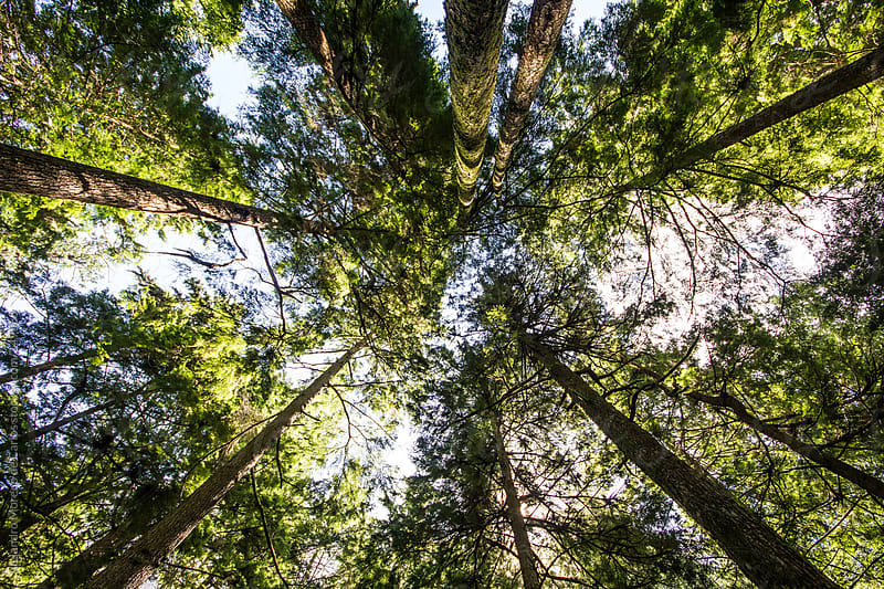 Tall trees on forest looking from below by Alejandro Moreno de Carlos for Stocksy United