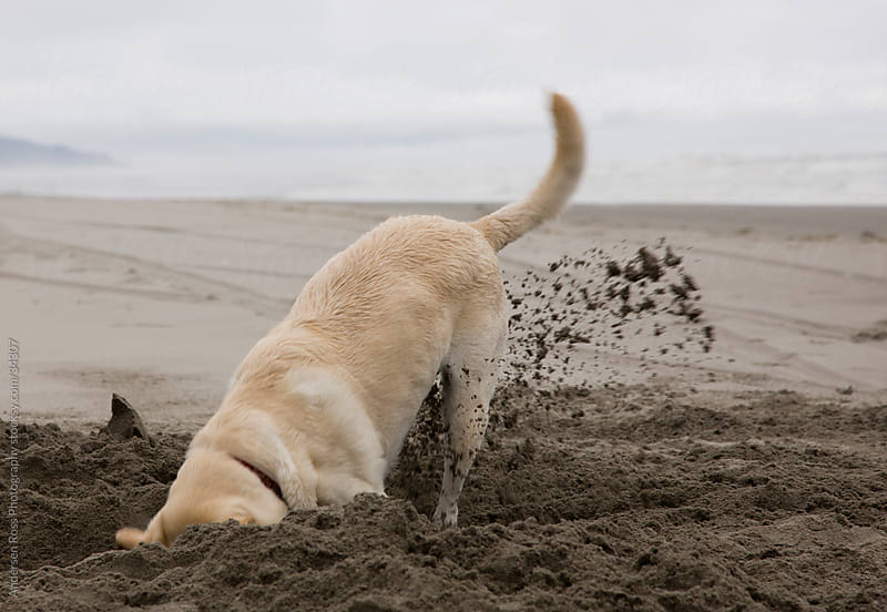 Labrador retriever digging on beach by Andersen Ross Photography for Stocksy United