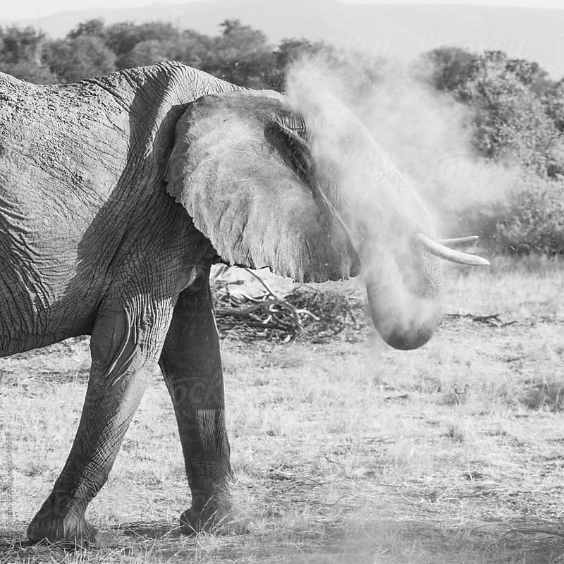 Elephant throwing sand by ACALU Studio for Stocksy United