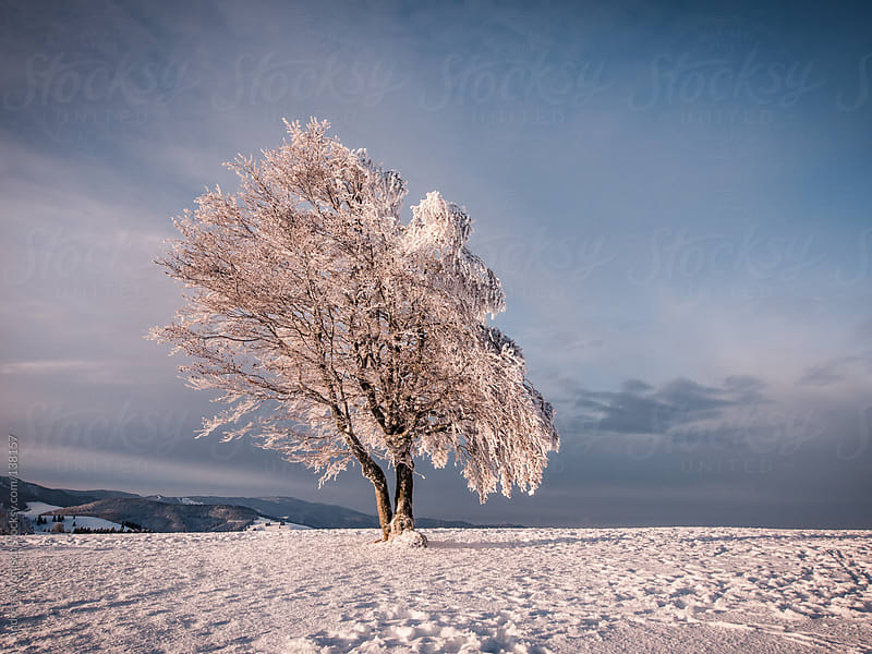 Winter Tree on Mountain by Andreas Wonisch for Stocksy United