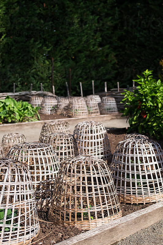 Vegetable garden with protective baskets around plants by Rowena Naylor for Stocksy United