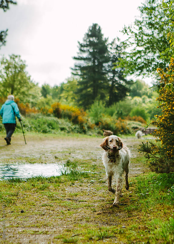 Setter dog walking along a forest path by kkgas for Stocksy United