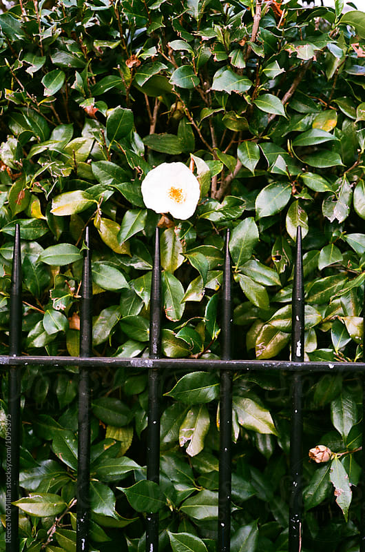 A flower poking through a fence by Reece McMillan for Stocksy United