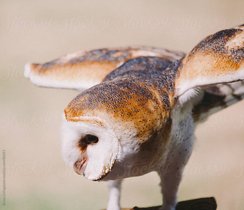 Barn Owl by Bruce Livingstone for Stocksy United