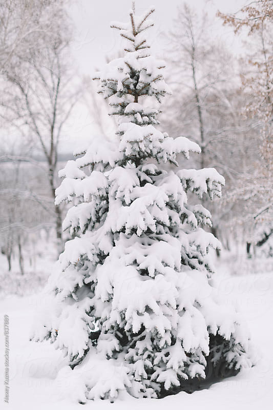 Snow Covered Fir. by Alexey Kuzma for Stocksy United