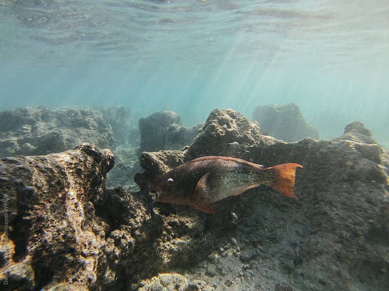 Underwater GoPro picture of fish in coral reef at Hanauma Bay, Oahu, Hawaii by Daring Wanderer for Stocksy United