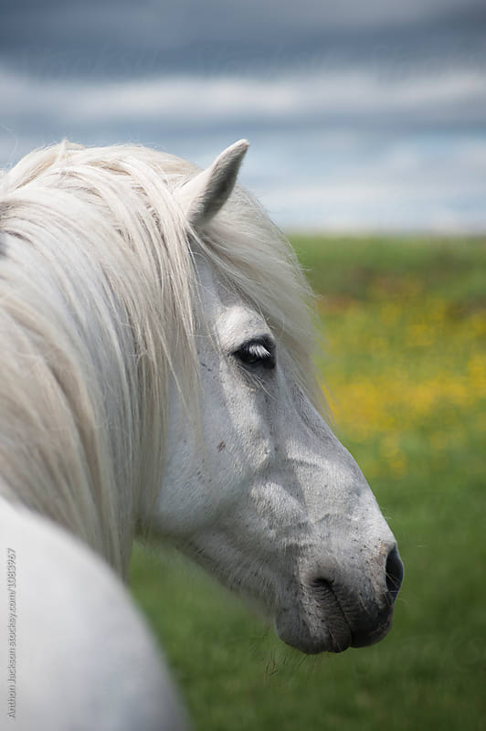 Icelandic Horse by Anthon Jackson for Stocksy United
