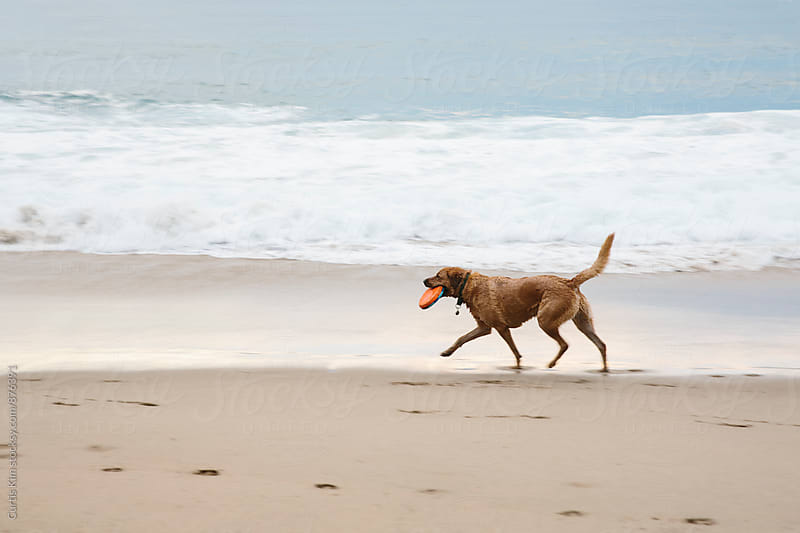Dog walking on beach with frisbee in his mouth by Curtis Kim for Stocksy United