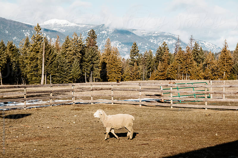 A sheep in a closed pasture with mountains in the background.  by Justin Mullet for Stocksy United