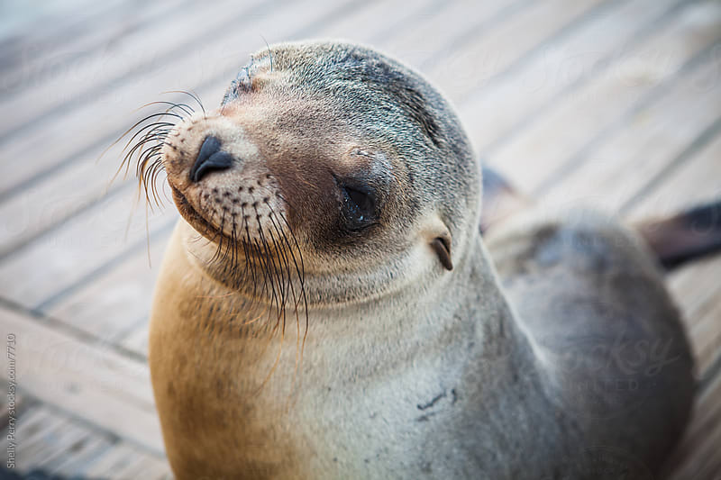 Sea Lion Pup by Shelly Perry for Stocksy United