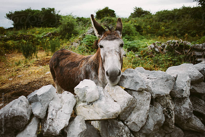 Donkey by Ryan Tuttle for Stocksy United