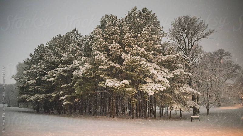 snow covered trees by Sam Hurd Photography for Stocksy United